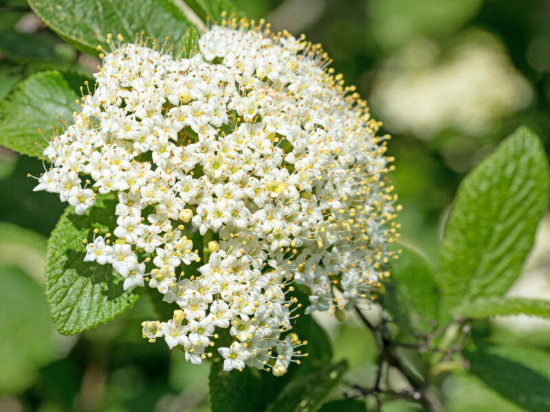 How and When to Prune Viburnum