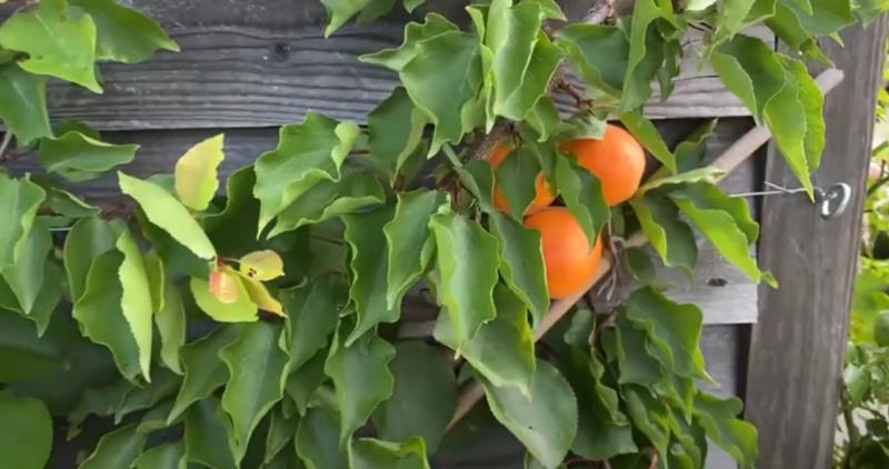 Ken's Weekly Tips – Apricot Update