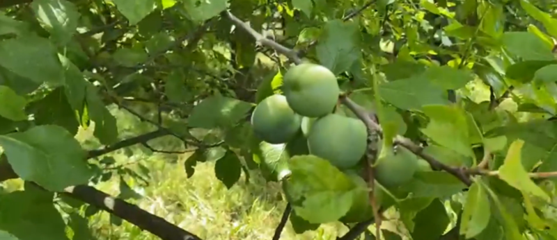 Gardening With Ken – It's been a great year for the greengage