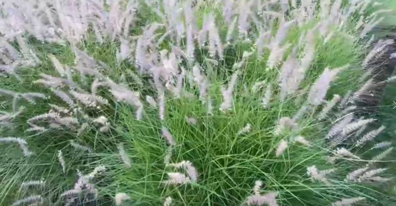 Ken's Weekly Tips – Pennisetum – The plant that will tolerate a lot!