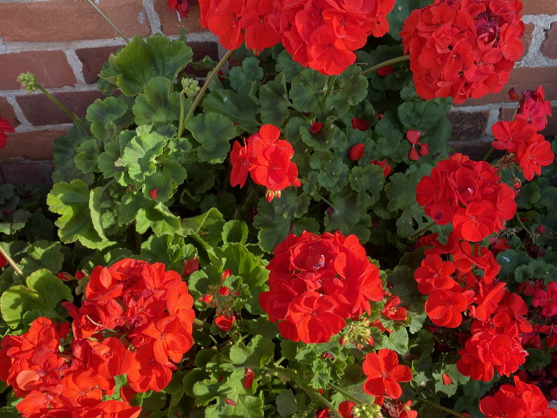 Ken's Weekly Tips – The Right Way To Deadhead A Geranium