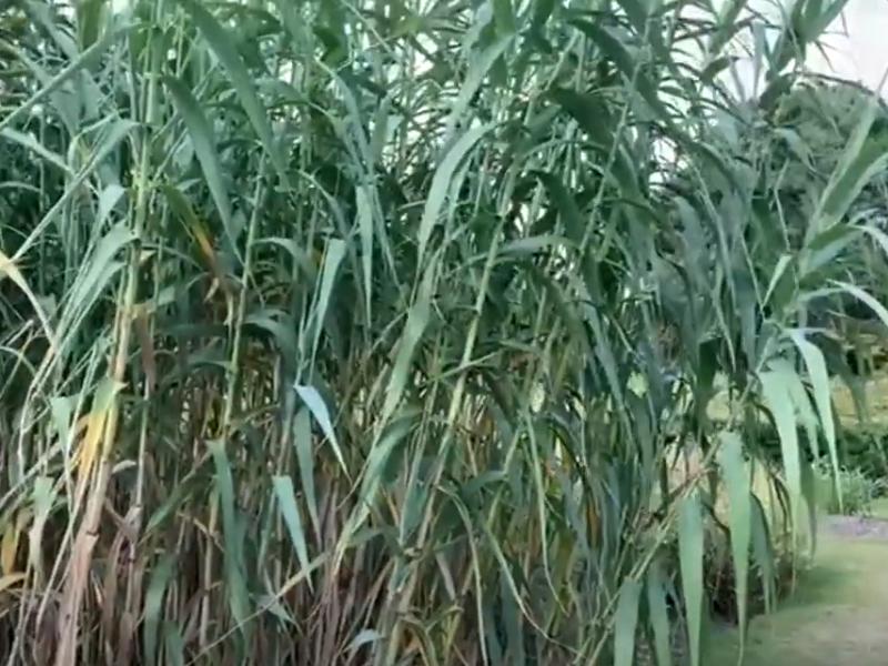 Ken's Weekly Tips – Molinia – A wonderful ornamental grass